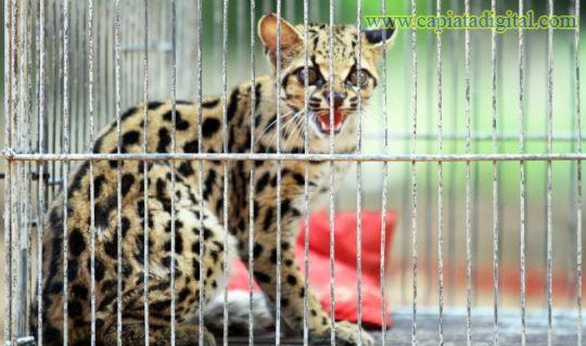 Una tirica es la nueva integrante del zoológico de Asunción